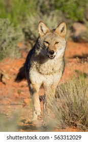 coyote running, toward the camera,  in the desert with sage brush and red dirt in background