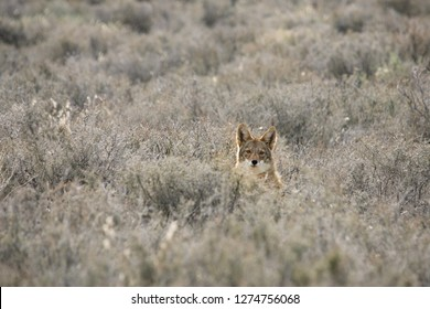 Coyote In A Sagebrush Meadow