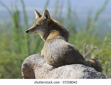 Coyote sitting on a rock