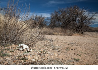 Coyote skull in the Sonoran Desert close to the US-Mexican border, Arizona