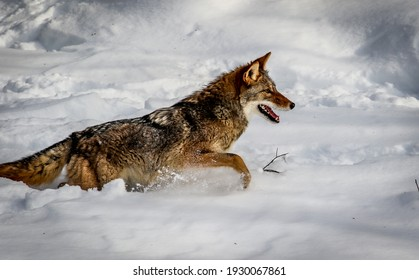 The coyote is a species of canine native to North America. It is smaller than its close relative, the wolf, and slightly smaller than the closely related eastern wolf and red wolf.