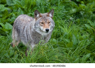 Coyote standing in field in springtime