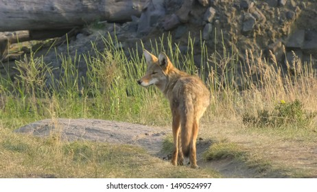 coyote standing in the lamar valley of yellowstone