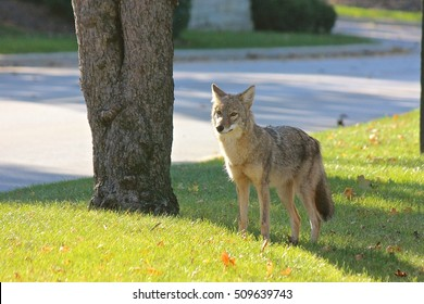 Coyote standing near a street in a suburban Chicago residential area (Cook County, Illinois, Midwest USA)