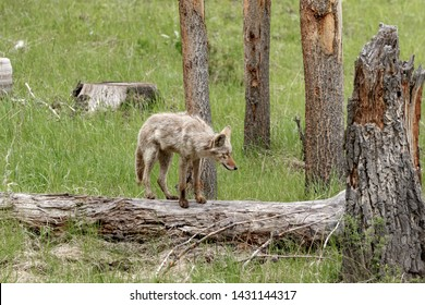 Coyote standing on a dead log