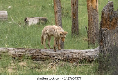 Coyote standing on a log