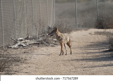 Coyote trapped behind fence