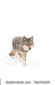 Coyote walking against a white winter background