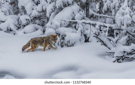 Coyote walks through deep snow, paw raised, hunting