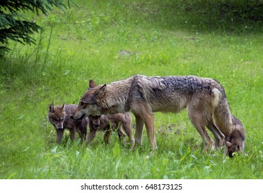 Coyote and Wolf Pups playing together in green field.