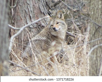 coyote in the woods