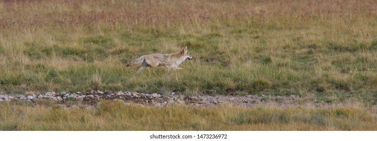 Coyote, Yellowstone National Park, USA