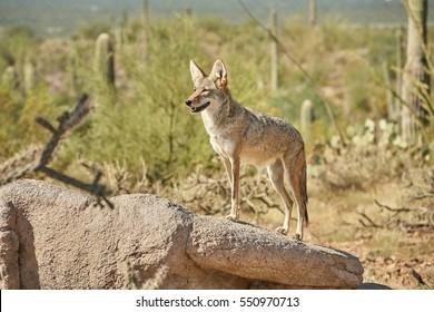 Coyotes in Sonoran Desert in Arizona, USA