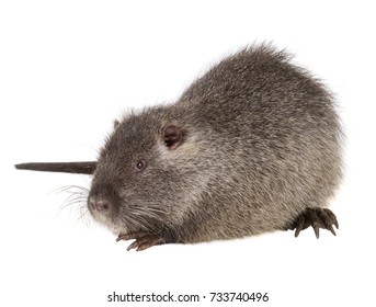 Coypu (Myocastor coypus) aka river rat or nutria mammal animal isolated on a white background