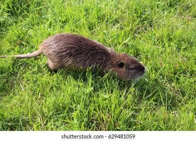 Coypu water rat in green grass