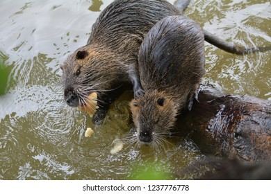 Coypus lunch in Oise river