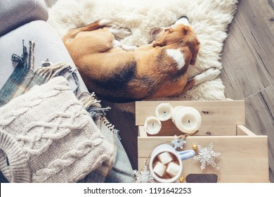 Cozy home, beagle sleeps at the floor in living room, Christmas atmosphere