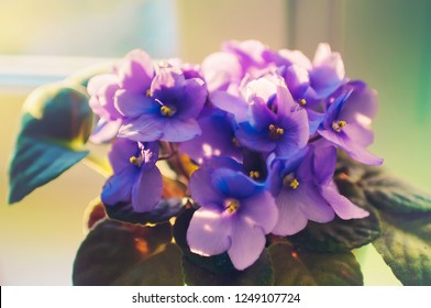 Cozy house. Home flower violet in a pot on the windowsill under the rays of the morning spring sun.