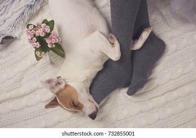 Cozy lazy day at home. Woman wearing soft warm wool socks relaxing at home, playing with dog, jack Russel terrie Relaxing, comfy lifestyle.