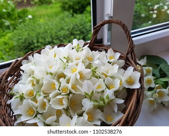 Cozy spring summer home concept. Jasmine flowers blooming in wicker basket on windowsill.