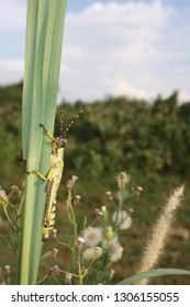 Cplorful locust, side view on grass stalk, South Africa.