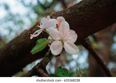 Crab Apple Blossom in Spring
