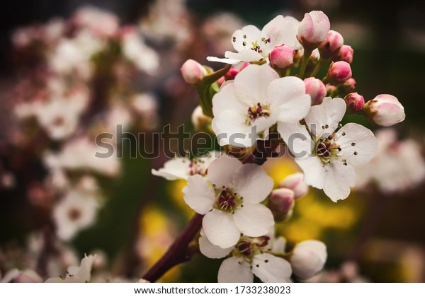 Crab apple flowers in the springtime