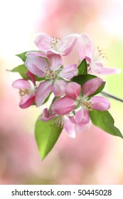 Crab Apple tree blossoms with extreme shallow DOF.