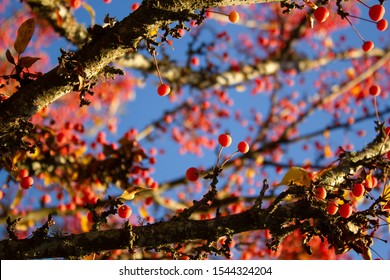 Crab apple tree with fruit stemming from v-shaped branches and framing more applies and blue sky. These deciduous trees in the Malus genus can provide prolific spring blossoms and fall fruit.