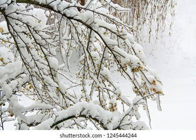 Crab apple tree limbs covered in snow with yellow apples in south west Michigan, USA with copy space.
