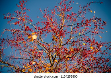 Crab apple tree with many small red apples on a blue sky background