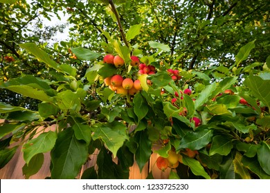 Crab apple tree with ripening fruits