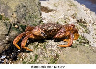 crab ashore ocean amongst seashell and algaes