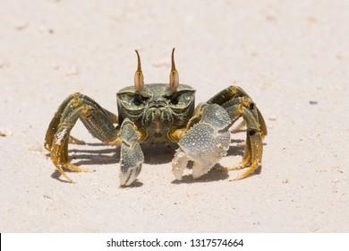 Crab with big chela