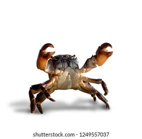 crab bricklayer stand and threateningly lifted claws up, on white background; isolated