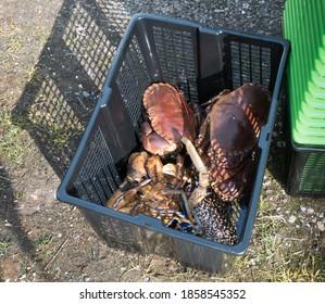 Crab catch at Brora Scottish Highlands