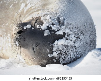 Crab Eater Seal in Ice Brown Bluff Antarctica