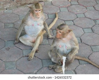 Crab Eating Macaques (Macaca fascicularis) relaxing on a sidewalk near Phra Prang Sam Yot in the Monkey City of Lopburi, Thailand