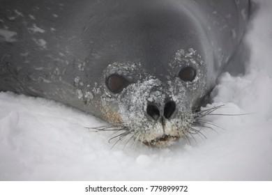 Crab eating seal in Antarctica