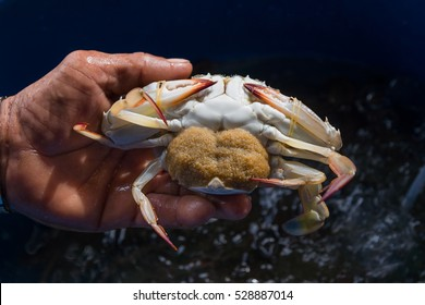crab with egg