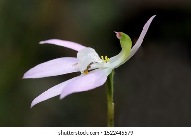 Crab or Flower Spider in ambush position on Pink Fingers Orchid