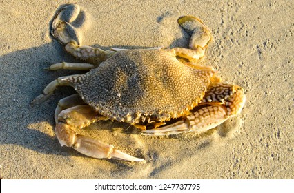 crab with impressive claws on beach on Jamaica