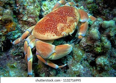 Crab - Nassau, Bahamas