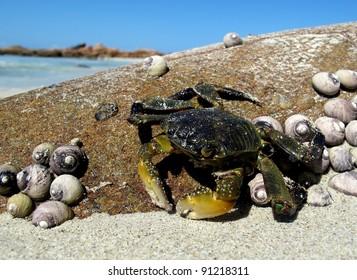 Crab on beach swim sand and shells