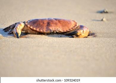 A crab on a danish beach.