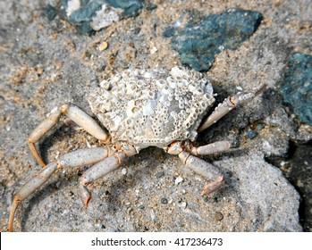 Crab on the rocks at Llanddwyn Island, Anglesey, North Wales