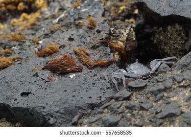 Crab on the rocks near waves and surf near Waikiki Beach in Honolulu Hawaii