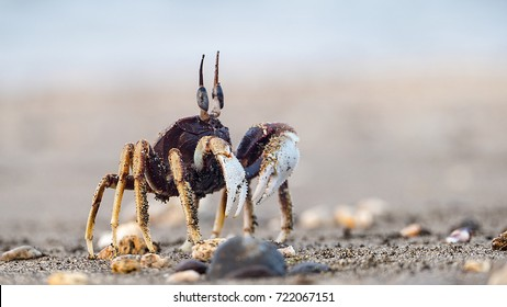 The Crab on sandy beach with nice background color