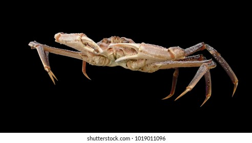 Crab opilio, snow crab isolated on black background