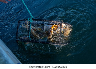 Crab pots being pulled from the ocean with dungeness crab in them